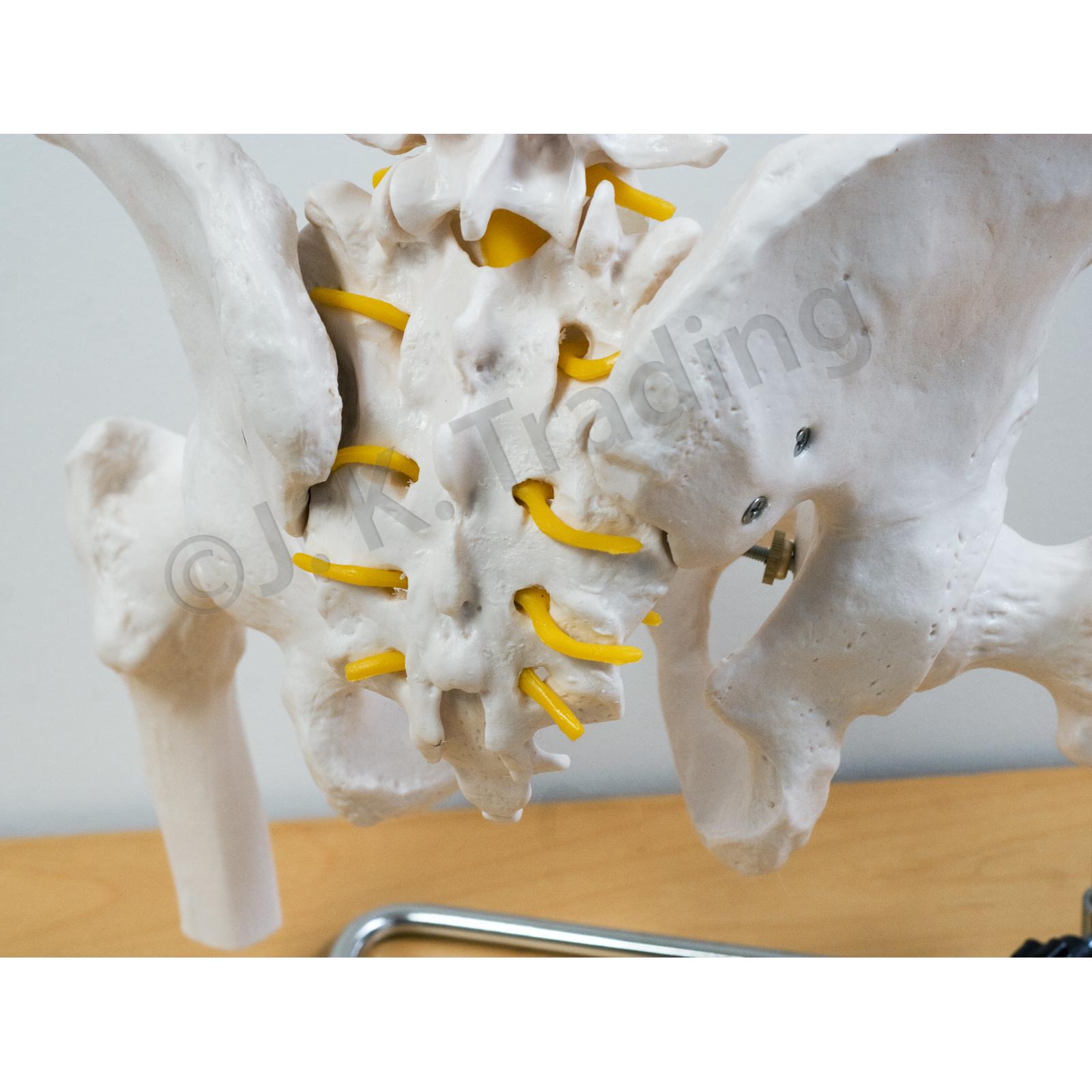 Anatomy Model Spine Model With Pelvis And Femur