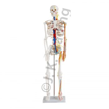 85cm Human Skeleton Model with Nerves