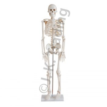 Half size human skeleton model