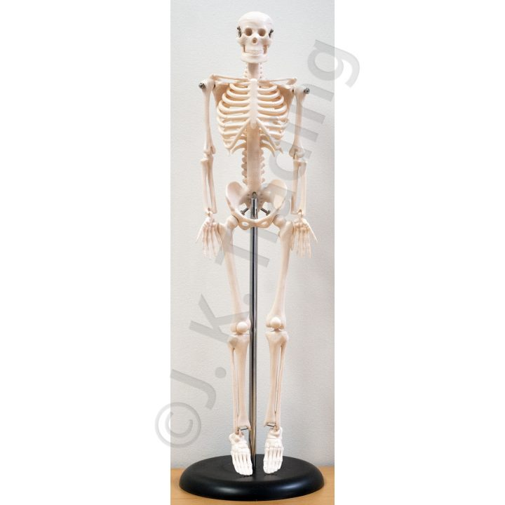Mini Human Skeleton Anatomy Model 45cm