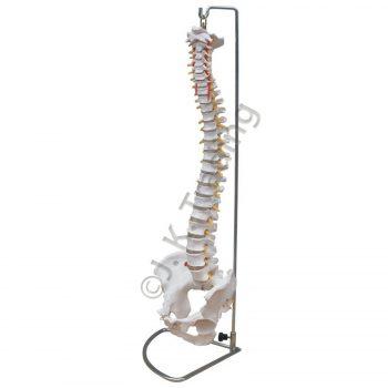 Skeleton Model: Spine Model with Pelvis
