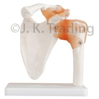Human Shoulder Joint Anatomy Model with Artificial Ligaments