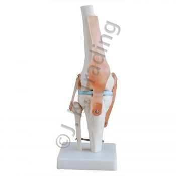 Knee Joint Anatomy Model with Artificial Ligaments