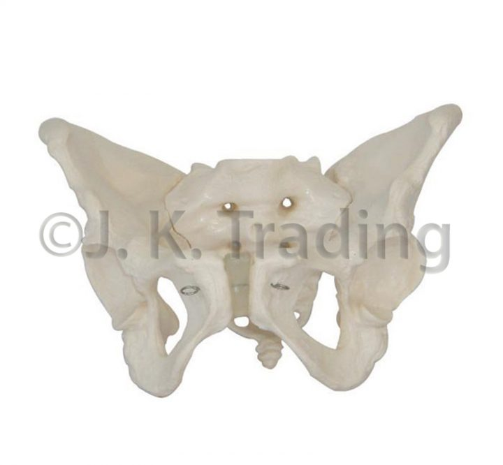 Anatomy Model: Adult Female Pelvis Model or Pelvic Model
