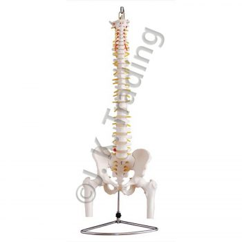 Vertebral column with pelvis and femur heads anatomy model