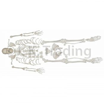 Disarticulated human skeleton anatomy model