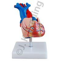 Human Heart Anatomy Model