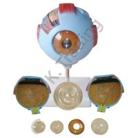 Human Eye Anatomy Model