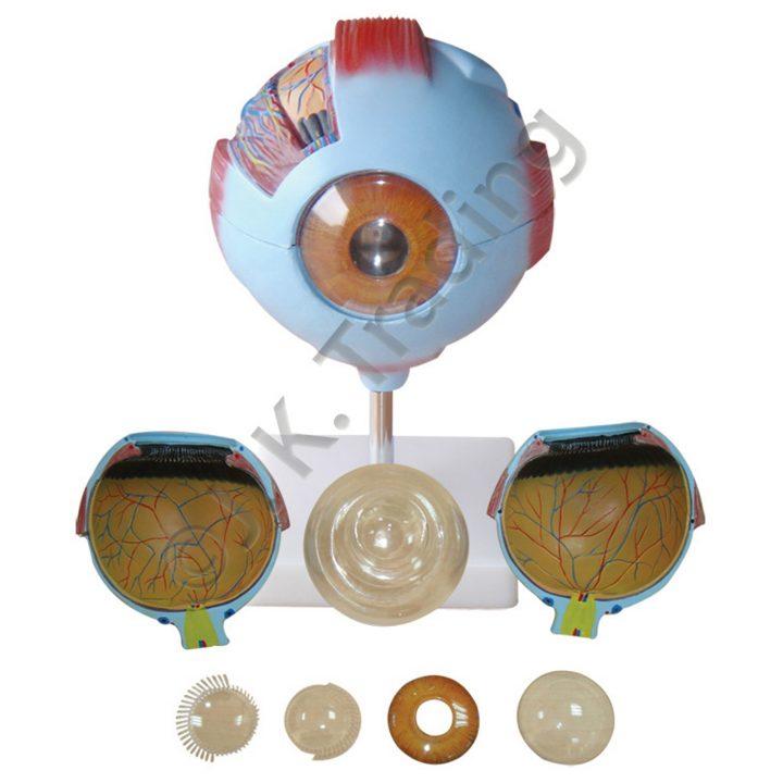 Human Eye Anatomy Model