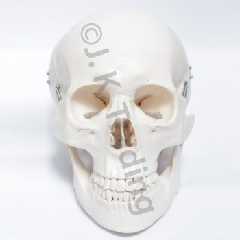 Human Skull Model or Skeleton model of the Human Skull