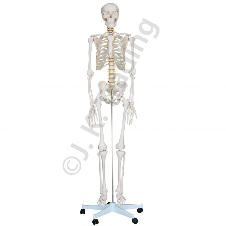 Life Size Human Skeleton Model with Nerve Branches