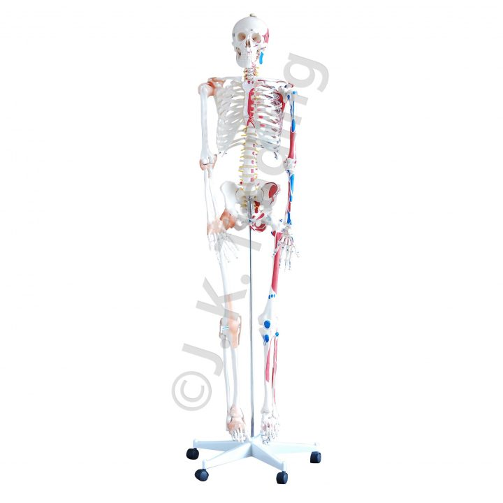 LIfe Size Human Skeleton Model with Muscles and Ligaments