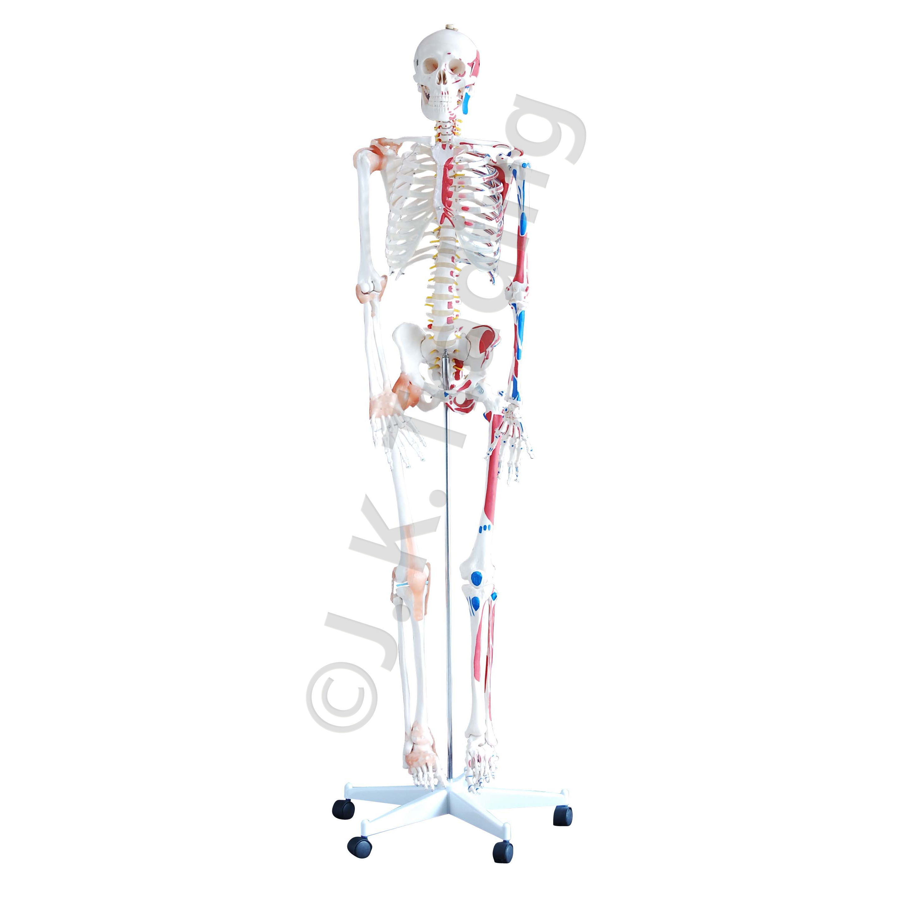 human anatomy model  skeleton model with muscles