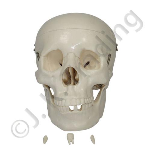 Life Size Human Skull Model (Standard)