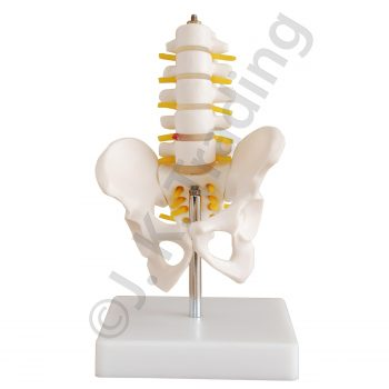 Half Size Pelvis Model or Pelvic Model with Vertebrae