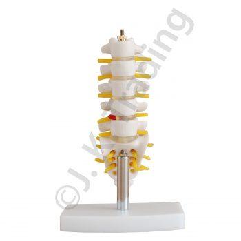 MIni lumbar model or vertebrae model with sacrum