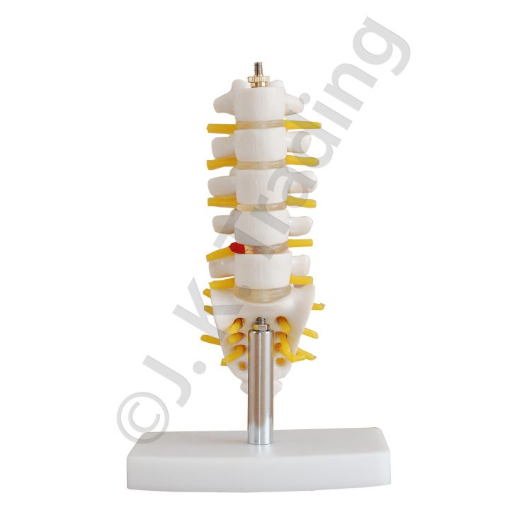 MIni lumbar model or vertebrae model with sacrum