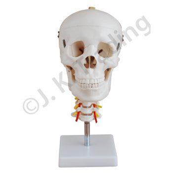 Human Skull Model with Cervical Spine