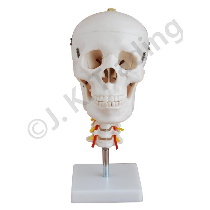 Human Skull Model with Cervical Spine