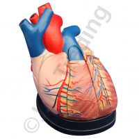 Middle Heart Model: Three Times Enlarged