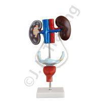 Medical Grade Female Urology Model