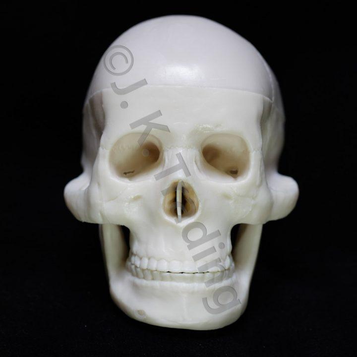 Miniature Human Skull Model