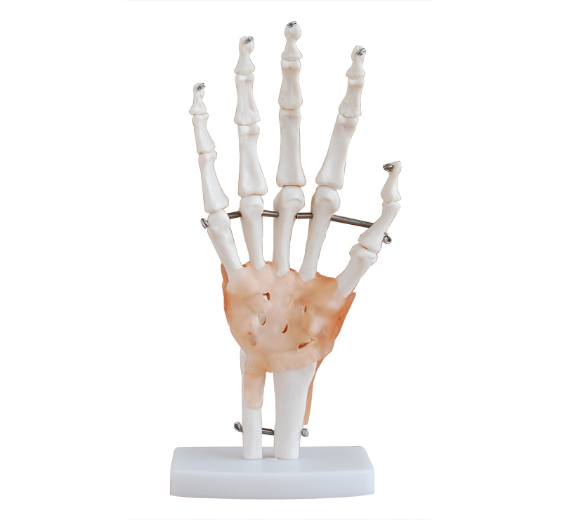 Life Size Human Hand Joint Model Skeleton Model Human Anatomy Model ...